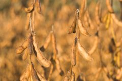 Soybeans 2. Close-up of soybean pods.  Shallow depth of field Royalty Free Stock Images