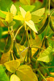 Soybeans Royalty Free Stock Photography