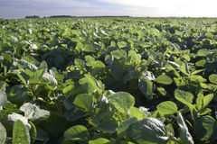 Soybeans. Cultivated land from Argentina, taken with a canon XT Stock Photo