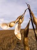 soybeans Royaltyfria Bilder