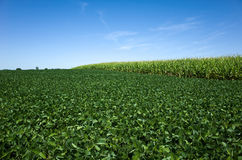 Soybeans and Corn Royalty Free Stock Image