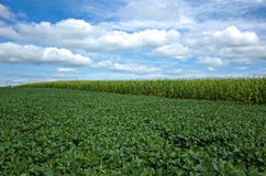 Soybeans and Corn Royalty Free Stock Photo