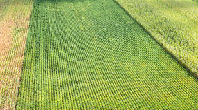 Soybeans and field corn Stock Images