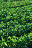 Soybeans growing on a farm Stock Images