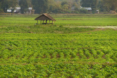 Soybeans growing in irrigated paddies. Hsipaw,  Myanmar (Burma Royalty Free Stock Photography