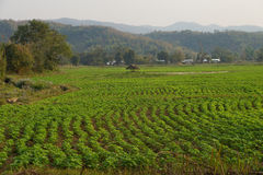 Soybeans growing in irrigated paddies. Hsipaw,  Myanmar (Burma Stock Images