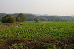 Soybeans growing in irrigated paddies. Hsipaw,  Myanmar (Burma Royalty Free Stock Image