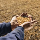 Soybeans in hands.
