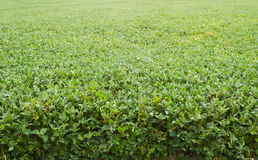Soybeans Horizontal. Soybean (Glycine max) field in Prince Frederick, Maryland USA stock photos