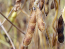 Soybeans Ready for Harvest Stock Photos