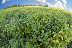 Soybeans Ready To Be Harvested Royalty Free Stock Photos