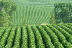 Soybeans on rolling hills Stock Photography