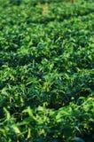 Soybeans som växer på en lantgård Arkivbilder