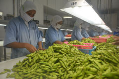 Soybeans Sorting Stock Photo