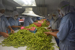 Soybeans Sorting Stock Photos