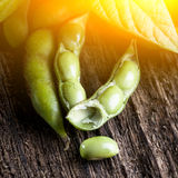 Soybeans with sunshine Stock Image