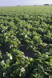 soybeans v Arkivfoton