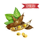 Soybeans, watercolor illustration Royalty Free Stock Image