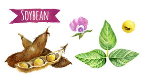 Soybeans, watercolor illustration Stock Photo