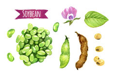 Soybeans, watercolor illustration Royalty Free Stock Photos