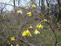 Soyez d'accord avec moi que les fleurs jaunes sont très belles au printemps, quand la neige est juste descendue ? image stock