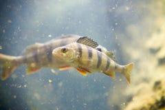 Soyez perché, les fluviatilis de Perca, poissons simples dans l'eau Image stock
