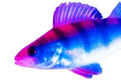 Soyez perché les poissons dans la couleur bleue et rose d'isolement sur le fond blanc photos libres de droits