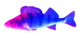 Soyez perché les poissons dans la couleur bleue et rose d'isolement sur le fond blanc photographie stock libre de droits