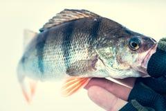 Soyez perché les poissons dans la main de pêcheur photo libre de droits