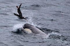 Späckhuggare som spelar med pingvinet Royaltyfri Fotografi