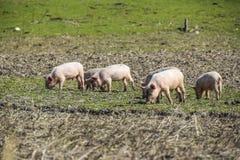 Spädgrisarna på ängen äter för att spela litet lantgårdjordbrukgriskött royaltyfri foto