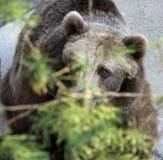 Spähen des Bären Lizenzfreies Stockfoto