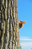 Spähen des Eichhörnchens Lizenzfreies Stockbild