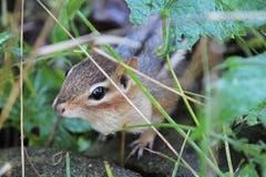 Spähen des Streifenhörnchens Lizenzfreies Stockbild