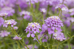 Spänna fast blomman Royaltyfri Fotografi