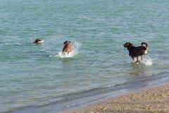 Spännande lek av fetchen för tre hundkapplöpning i vatten Fotografering för Bildbyråer
