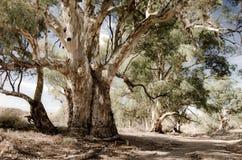 Spänner röda gummin för floden (eukalyptuscamaldulensis) längs den Heysen slingan i flindersen, södra Australien Arkivbilder