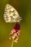 Spät gebrannte, Orchis-ustulata aestivalis, rosa und violette Orchidee und weißer Schmetterling, blühende europäische terrestrisc Stockbild