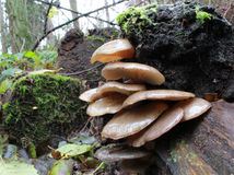 Späte Austern-Pilze - Panellus-serotinus Lizenzfreies Stockfoto