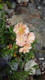 Späte Succulant-Blüte Stockfoto