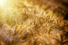 Später Nachmittag auf dem Weizengebiet und Sonnenlicht stockbild