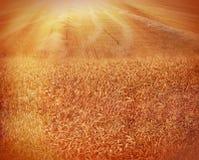 Später Nachmittag auf einem schönen Weizengebiet lizenzfreies stockbild
