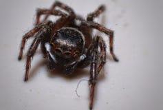 Späteste Augen der Spinnenmakrophotographie stockfotos