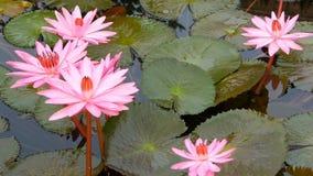 Spławowe wodne leluje w stawie Z góry kwitnie unosić się w spokojnej wodzie zieleni liście z różową wodną lelują zdjęcie wideo