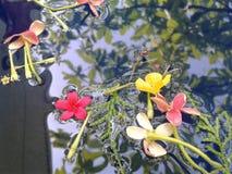 spławowy kwiat na wodnym Rangoon pełzaczu fotografia royalty free