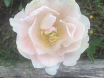 Spłoniona menchii róża zdjęcie royalty free