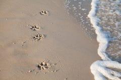 Spår av hunden på stranden Arkivfoton