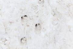 Spår av vildsvinet Arkivfoton