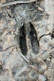 Spår för tryck för Whitetailhjortar i torkad gyttja arkivbild