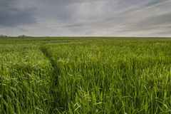 Spår i skördfält Arkivfoton